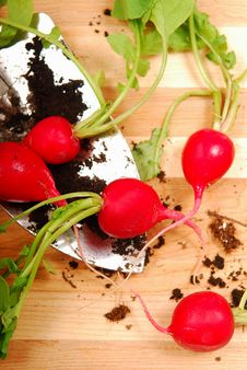 Free Freshly Dug Radishes Royalty Free Stock Photography - 10037997