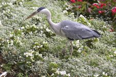 Free Heron Stock Images - 10038204