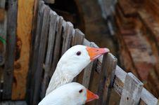 Free Two Ducks Stock Photo - 10038320