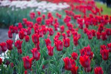 Free Red Tulips In Garden Stock Photo - 10038560