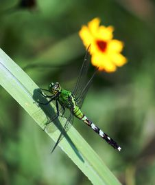 Dragonfly And Yellow Flower Royalty Free Stock Images