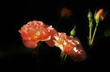 Free Flower, Rose Family, Garden Roses, Rose Stock Image - 100320401
