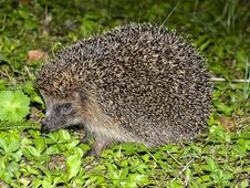 Free Hedgehog, Erinaceidae, Domesticated Hedgehog, Fauna Stock Photos - 100320453