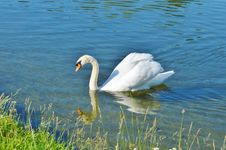 Free Swan, Bird, Water Bird, Ducks Geese And Swans Stock Images - 100320474