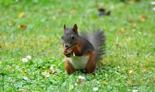 Free Squirrel, Mammal, Fauna, Fox Squirrel Royalty Free Stock Images - 100320499