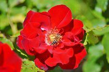 Free Flower, Rose, Rose Family, Floribunda Stock Photography - 100320592