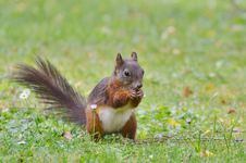 Free Squirrel, Fauna, Mammal, Fox Squirrel Royalty Free Stock Image - 100320716