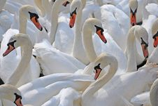 Free Swan, Water Bird, Bird, Ducks Geese And Swans Royalty Free Stock Photo - 100323155