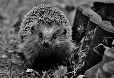 Free Hedgehog, Erinaceidae, Black And White, Domesticated Hedgehog Royalty Free Stock Images - 100323349