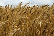 Free Food Grain, Wheat, Triticale, Crop Royalty Free Stock Photo - 100326325