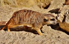 Free Meerkat, Fauna, Mammal, Terrestrial Animal Stock Image - 100326351