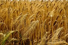 Free Food Grain, Wheat, Triticale, Grain Stock Photography - 100326812