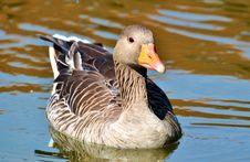 Free Bird, Duck, Water Bird, Ducks Geese And Swans Stock Image - 100326891