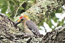 Free Bird, Beak, Woodpecker, Fauna Stock Images - 100327064