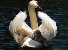 Free Bird, Water Bird, Swan, Ducks Geese And Swans Royalty Free Stock Images - 100327219