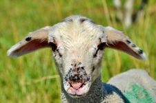 Free Sheep, Fauna, Horn, Cow Goat Family Royalty Free Stock Photos - 100328558