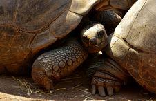 Free Tortoise, Turtle, Reptile, Terrestrial Animal Royalty Free Stock Images - 100328799