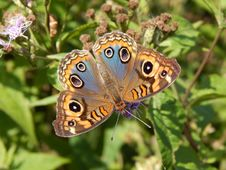 Free Butterfly, Moths And Butterflies, Insect, Brush Footed Butterfly Stock Photography - 100329102
