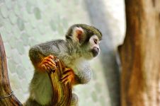 Free Fauna, Mammal, Primate, New World Monkey Stock Images - 100332194