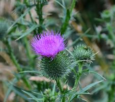 Free Silybum, Thistle, Plant, Noxious Weed Stock Image - 100332271