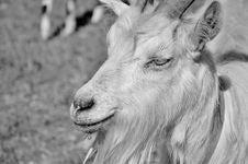 Free Goats, Wildlife, Black And White, Goat Royalty Free Stock Photos - 100332328