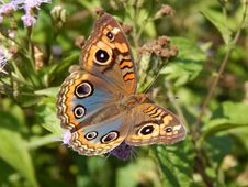 Free Butterfly, Moths And Butterflies, Insect, Brush Footed Butterfly Stock Images - 100332414