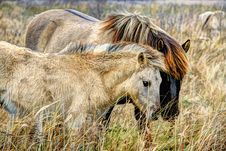 Free Wildlife, Mane, Ecosystem, Grassland Stock Photography - 100332522