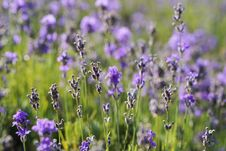 Free Flower, English Lavender, Lavender, Plant Stock Photos - 100332573