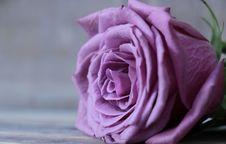 Free Flower, Rose, Rose Family, Pink Royalty Free Stock Photos - 100332788