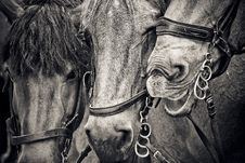 Free Horse, Black And White, Monochrome Photography, Horse Like Mammal Royalty Free Stock Photos - 100332958