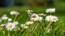 Free Flower, Flora, Plant, Daisy Family Royalty Free Stock Images - 100333109