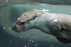 Free Fauna, Mammal, Water, Otter Stock Photography - 100333142