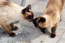 Free Cat, Small To Medium Sized Cats, Cat Like Mammal, Siamese Royalty Free Stock Photos - 100333158