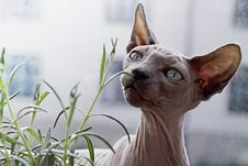 Free Cat, Hairless Cat, Sphynx, Donskoy Royalty Free Stock Images - 100333939