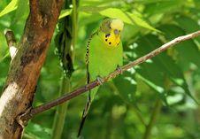 Free Bird, Common Pet Parakeet, Parakeet, Parrot Stock Image - 100335381