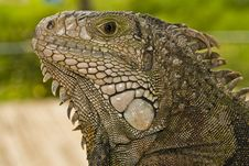 Free Reptile, Scaled Reptile, Iguana, Terrestrial Animal Stock Images - 100335974