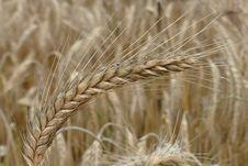 Free Food Grain, Triticale, Wheat, Rye Royalty Free Stock Image - 100338186