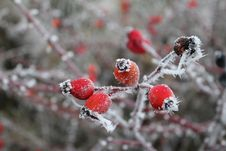 Free Rose Hip, Branch, Rowan, Winter Stock Image - 100338691