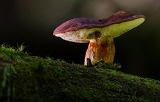 Free Fungus, Mushroom, Medicinal Mushroom, Bolete Stock Photos - 100340593