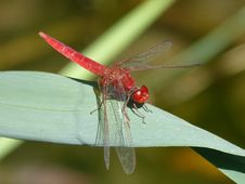 Free Insect, Dragonfly, Dragonflies And Damseflies, Invertebrate Royalty Free Stock Photo - 100341815