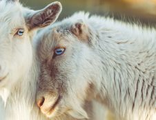 Free Goats, Goat, Fauna, Cow Goat Family Stock Image - 100341991