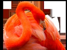 Free Flamingo, Orange, Vertebrate, Water Bird Stock Photos - 100342023