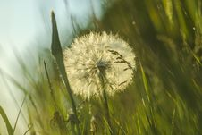 Free Dandelion, Vegetation, Flower, Grass Royalty Free Stock Photo - 100342125