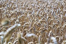 Free Grass Family, Wheat, Food Grain, Grain Royalty Free Stock Images - 100345559