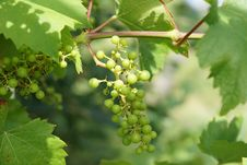 Free Grape, Grapevine Family, Seedless Fruit, Fruit Stock Image - 100345921