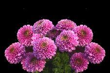 Free Flower, Chrysanths, Flowering Plant, Aster Royalty Free Stock Image - 100346886