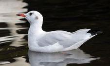 Free Bird, Seabird, Gull, Beak Stock Photo - 100347700