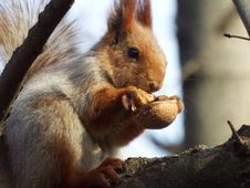 Free Fauna, Mammal, Squirrel, Rodent Stock Image - 100380181