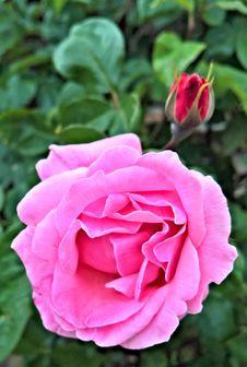 Free Flower, Rose, Rose Family, Pink Royalty Free Stock Photo - 100380275