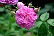 Free Flower, Rose, Rose Family, Plant Royalty Free Stock Photos - 100381648